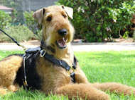 Airedale Terrier Luxury Leather Large Harness H7