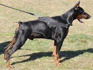 Doberman Professional Nylon Harness
