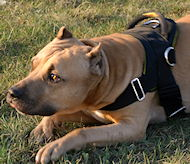 Amstaff Nylon multi-purpose dog harness