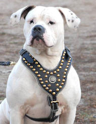 Studded Leather Harness Royal for American Bulldog