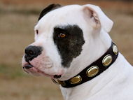 Gorgeous Vintage Dog Leather Collar C103 for American Bulldog