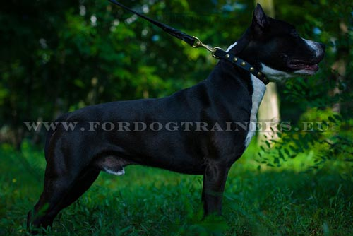 Amstaff Standing with C113 Collar