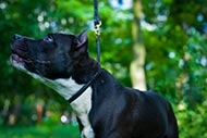 Leather Choke Collar for Molosser | Amstaff Choker