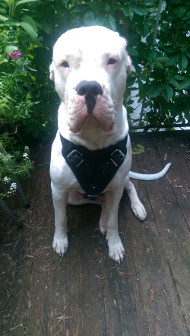 Training Harness for Dogo Argentino