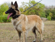 Braided Collar for Belgian Tervuren