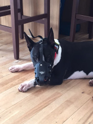 Leather Dog Muzzle for Bull Terrier | Multifunctional Muzzles