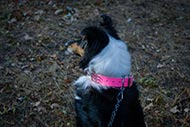 Collie Pink Leather Collar with Deco