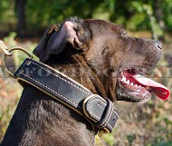 Dog collar classic with nappa padding for Pitbull