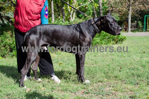Resistant Collar for Great Dane