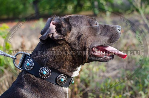 Black collar with blue stones for Pitbull