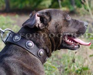 Pitbull Leather Collar with Embossed Plates ◉