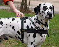 Dalmatian Tracking /Pulling/Walking Leather Dog Harness H5