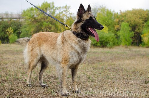 Braided Collar for Belgian Shepherd
