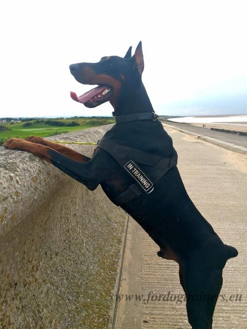 Doberman Training Harness with Patches