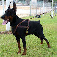 Doberman Tracking /Pulling/Walking Leather Dog Harness