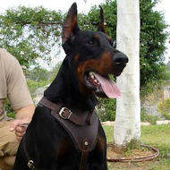 Doberman Protection/Attack Leather Dog Harness H1