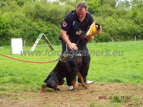 Attack Training Active Dog Rewarded