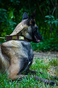 Wide Dog Collar with Brass Plates for Malinois