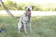 Long Leather Lead for Dalmatian