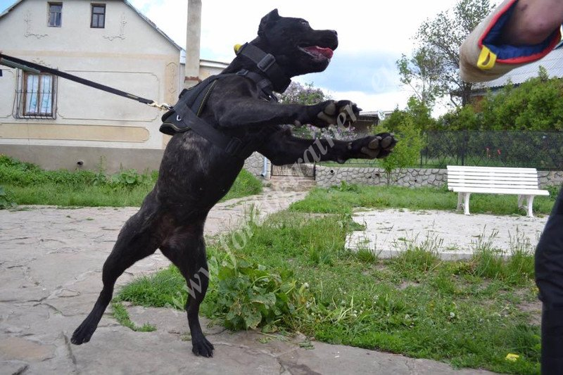 Bandog Bandog Dog