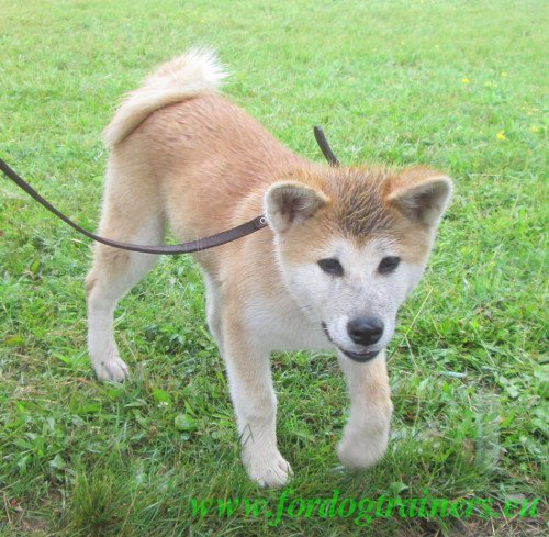 Wet Akita on Show for Dogs