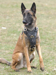 Leather Harness for Malinois