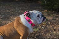 Vintage Leather Dog Collar for English Bulldog