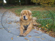 Leather Dog Harness with Padded Plates for Tibetan Mastiff