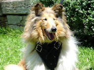 Protection/Attack Leather Dog Harness H1for Collie