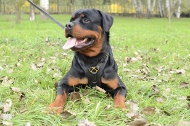 Rottweiler Luxury Handcrafted Padded Leather Harness H10