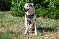 West Siberian Laika Painted Leather Harness Super Style