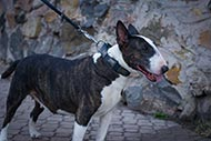 Bull Terrier Leather Collar with Plates