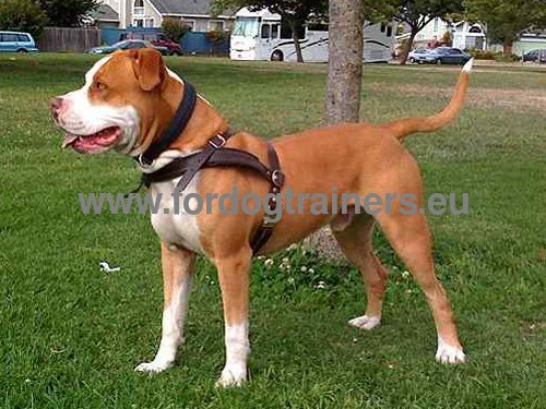 Leather harness perfectly adjusted for young Pitbull
