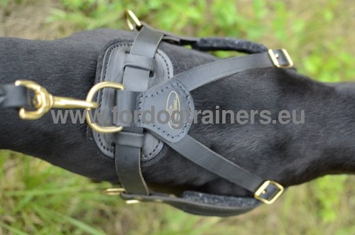Harness for walking and tracking with Pitbull