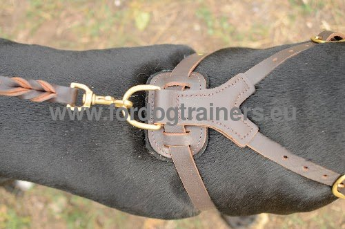 Leather harness with brass studs and fittings for Pitbull