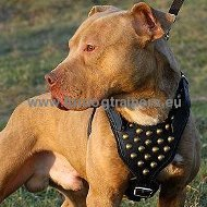 Studded Leather Harness for Amstaff