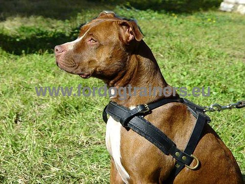 Leather harness for Pitbull quality and resistance