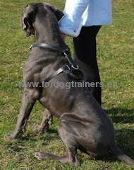 Great quality leather and furniture dog harness for Great Dane
