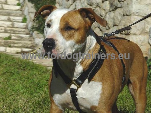 Step-in Harness Highest Quality on Amstaff