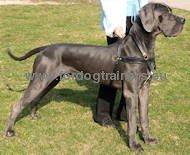 Great Dane Harness for Pulling, Walking, Tracking