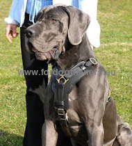 Exclusive Handcrafted Padded Leather Harness for Great Dane