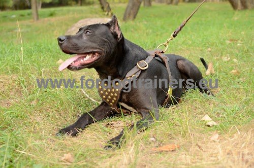 Elegant harness with studs for Pitbull