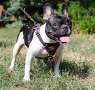 Leather Dog Harness Padded for French Bulldog