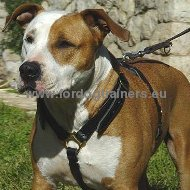 Handcrafted Leather Harness for Amstaff