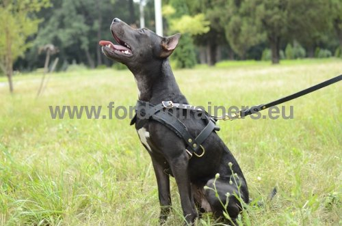 Leather harness for Pitbull extra durable