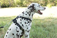 Dalmatian Leather Harness with Decoration