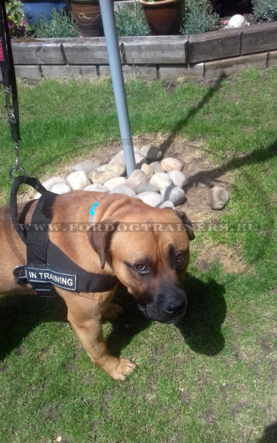 Mastiff Training Harness with Patches