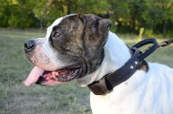 Leather Collar with Handle for American Bulldog Dog Training