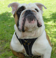 English Bulldog Luxury Handcrafted Leather Harness H3
