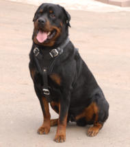 Large Leather Dog Harness for Rottweiler Online